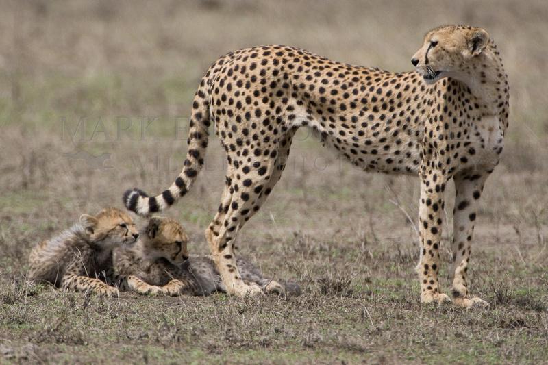 Baby cheetahs under mother