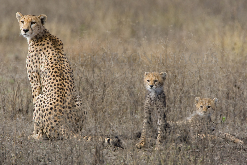 An alert cheetah and her cubs