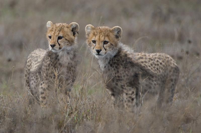 Baby cheetahs on the Serengeti plains