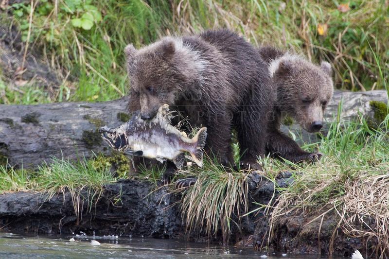 Baby Kodiak brown bears learning to fish