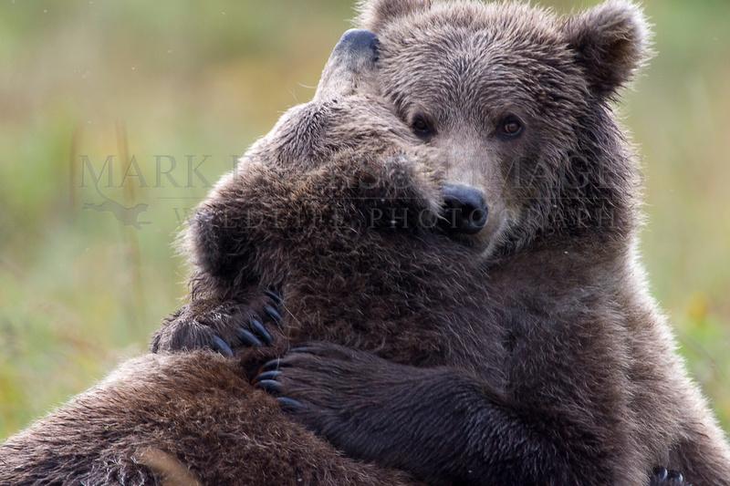 Kodiak brown bear cubs embrace