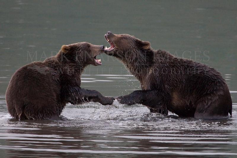 Kodiak brown bears wrestling