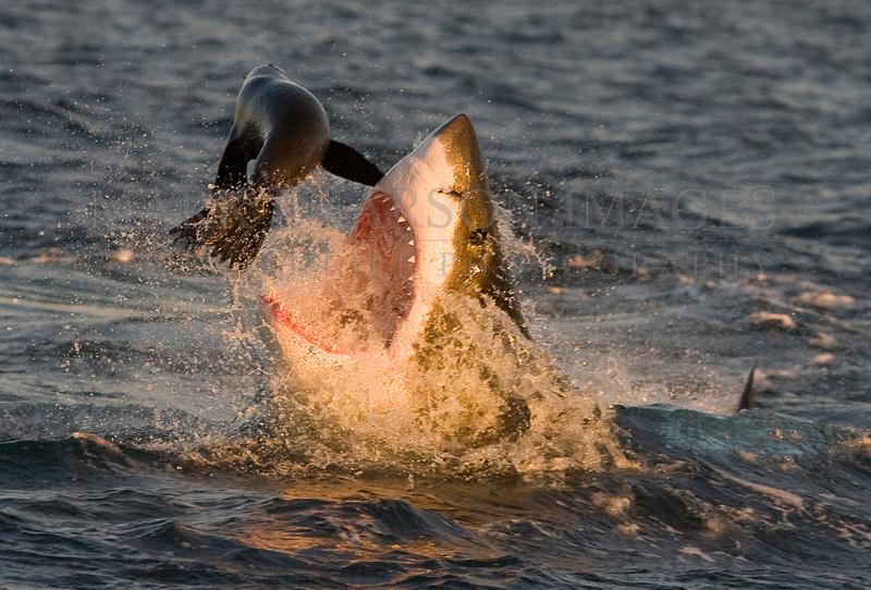 White shark attacking a Cape fur seal