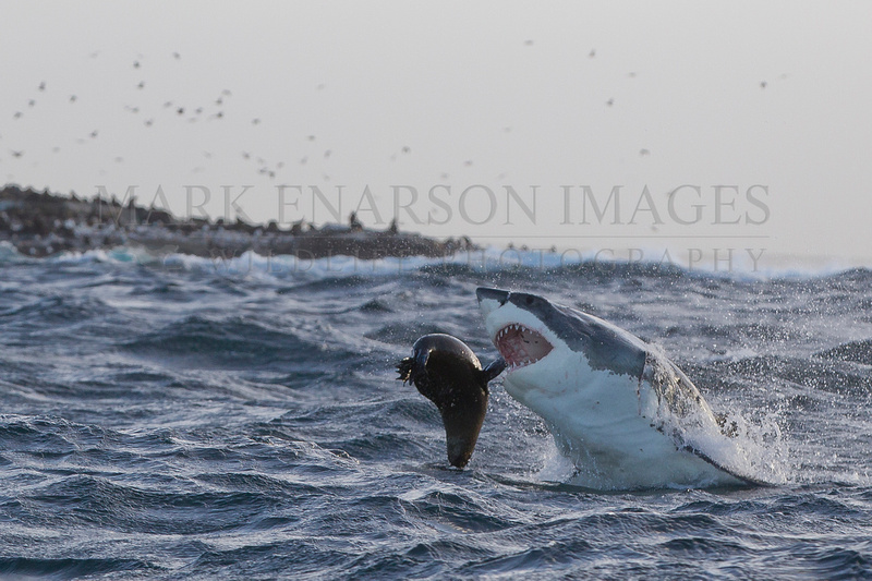 White shark attacking a seal in stormy weather