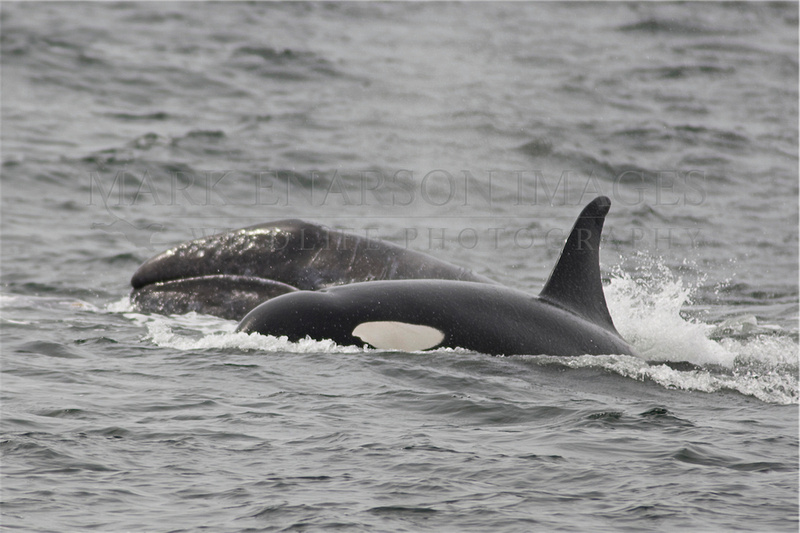 Kller whale (orca) separating a grey whale calf from its mother