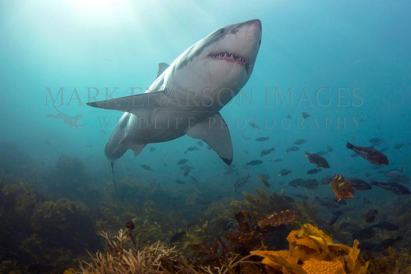 A white shark cruises the bottom near Stewart Island, New Zealand