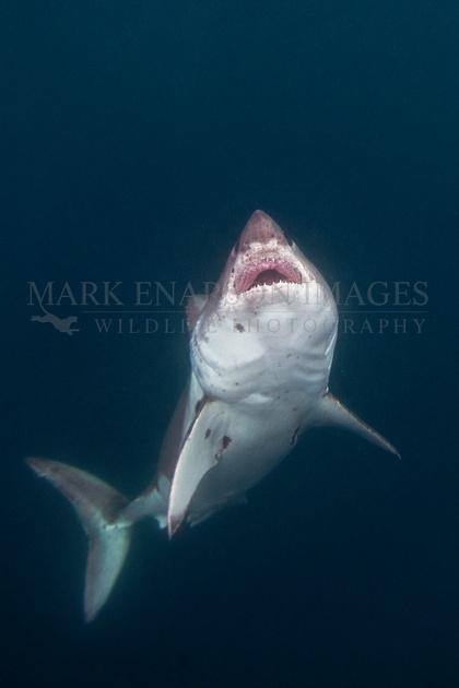 A salmon shark rises out of the frigid depths of Prince William Sound, Alaska
