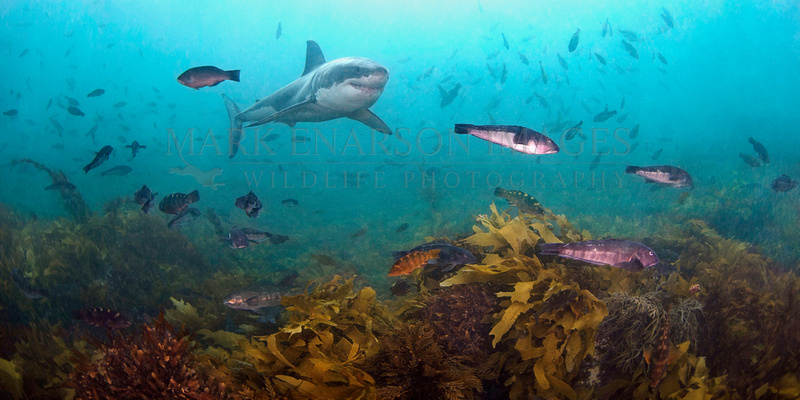 A white shark cruises above the colourful reef off Stewart Island, New Zealand