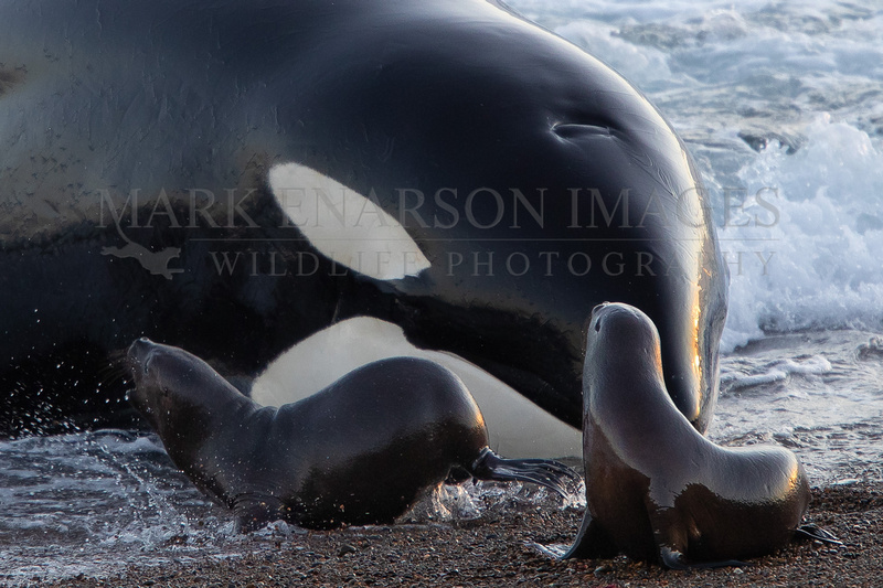 Surviving South American sea lion pups turn to face the orca that fell just short of capturing them in the surf, at Punta Norte, Argentina