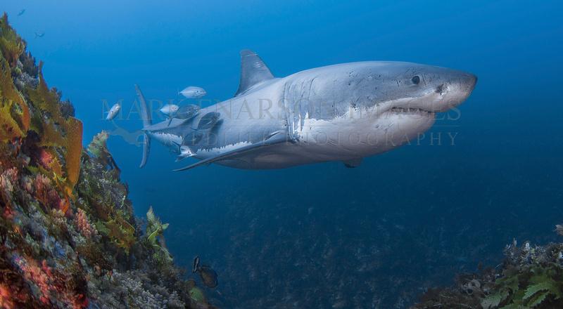 A white shark passes the deep reefs at the Neptune Islands, Australia