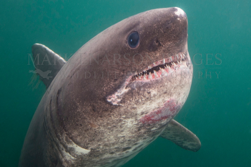 A salmon shark hunts the cold waters of Prince William Sound, Alaska
