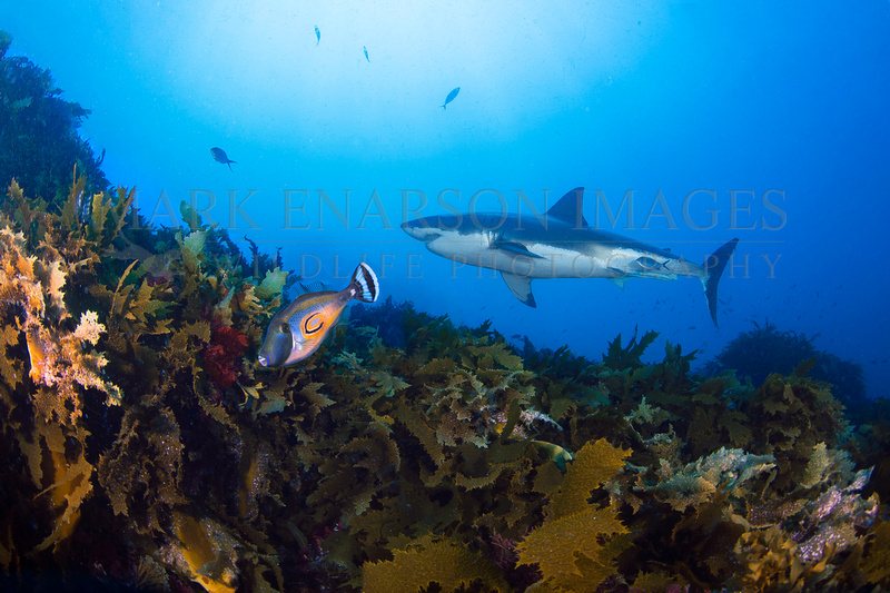 A white shark swims above the colorful reef off the North Neptune Islands, South Australia