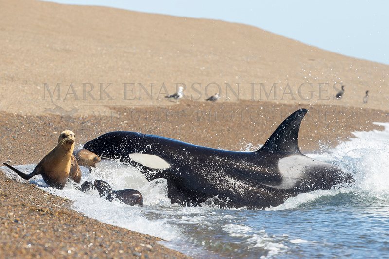 An orca captures a screaming juvenile South American sea lion from the beach at Punta Norte, Argentina