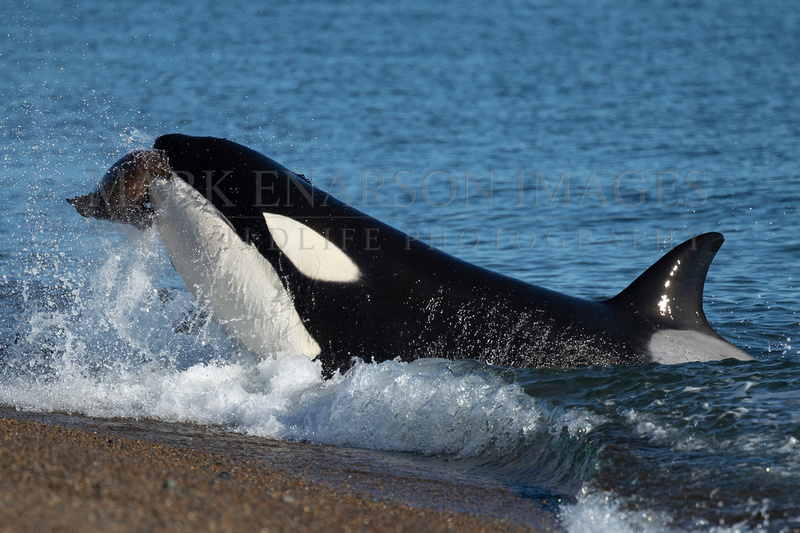 An orca strands to capture a South American sea lion pup at Punta Norte, Argentina