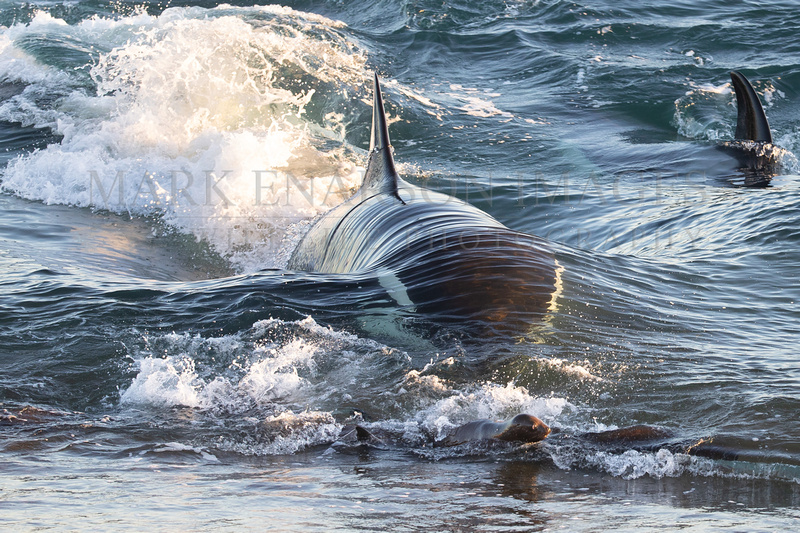 An orca closes in on a group of South American sea lion pups at Punta Norte, Argentina
