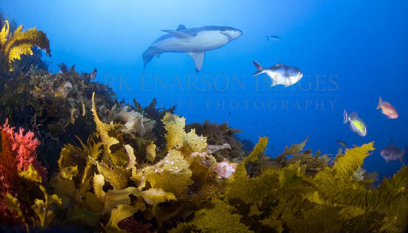White shark at the Neptune Islands