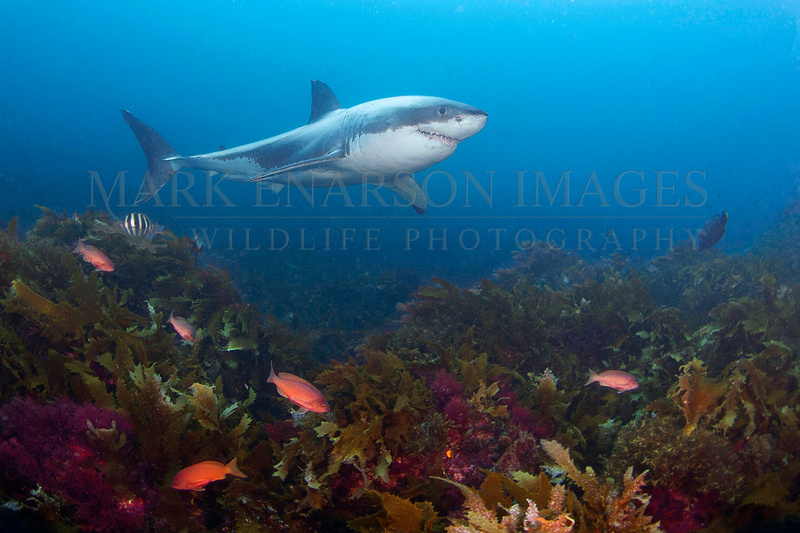 A white shark at the Neptune Islands