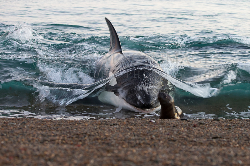 An orca stranding at Punta Norte, Argentina