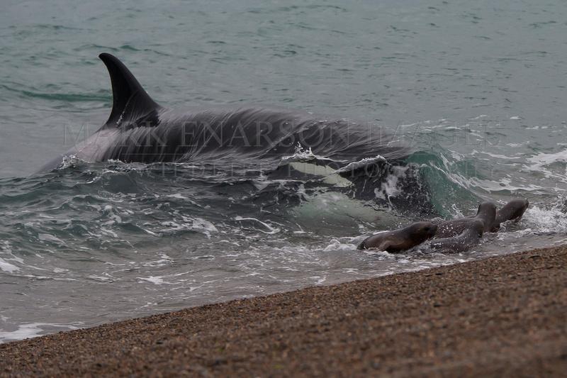 Orca attacking sea lions at Punta Norte, Argentina