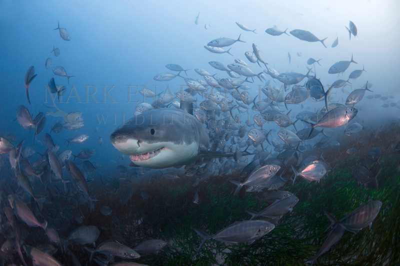 A white shark passes through a swirl of silver trevally