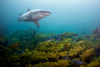 A white shark swims over the cold water reef off Stewart Island, New Zealand