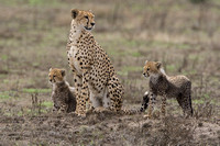 Cheetah cubs hunting with their mother
