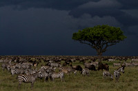 Zebra and wildebeest bracing for a storm