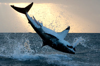A white shark breaches at sunrise at Seal Island, South Africa