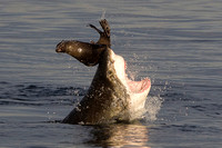 Cape fur seal escaping from a white shark