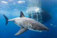 A white shark and cage divers