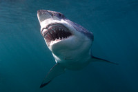 White shark off Stewart Island, New Zealand