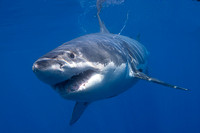 White shark at Isla Guadalupe
