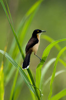 Black-capped mockingthrush