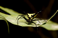 Spiny spider in the Amazon