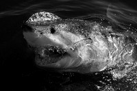 Seal Island white shark in black and white