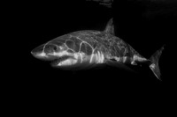 Isla Guadalupe white shark in black and white