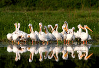 American white pelicans at Elk Island National Park