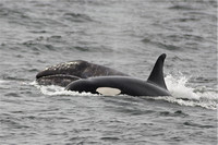 An orca separates the grey whale calf from its mother