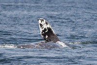Dying grey whale calf savaged by orcas