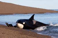 A South American sea lion narrowly avoids a smiling orca at Punta Norte, Argentina