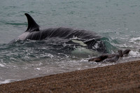 Orca attacking sea lions at Punta Norte, Argentina