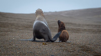 Mother South American sea lion and her pup