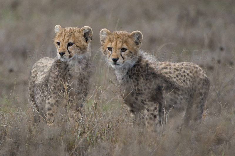 Baby cheetahs on the Serengeti plains