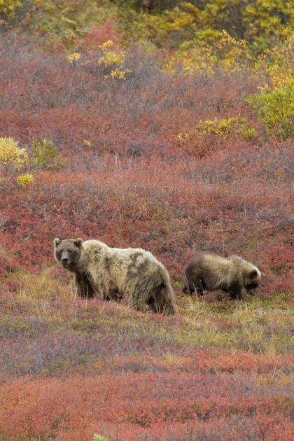 Grizzly bears in the bright autumn colors