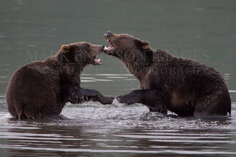 Kodiak brown bears wrestling
