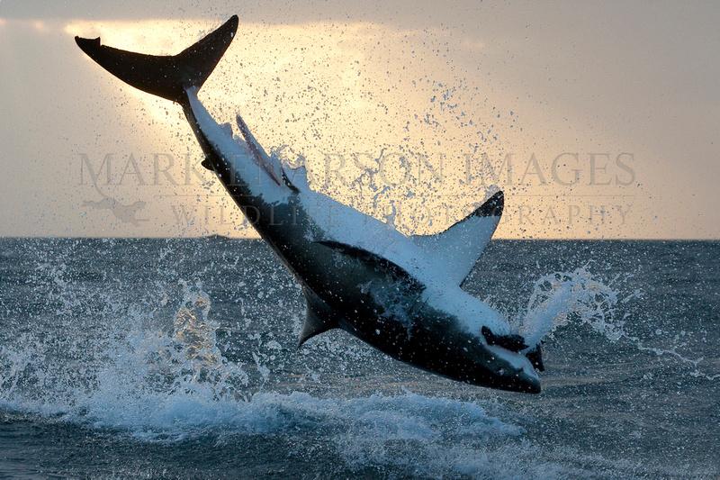 White shark breach at sunrise
