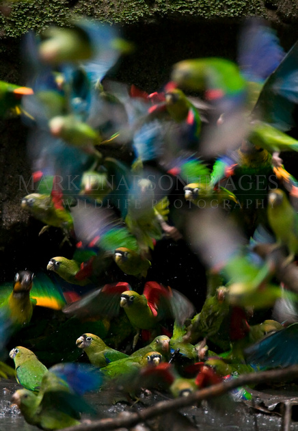 Parrots, parakeets, and parrotlets