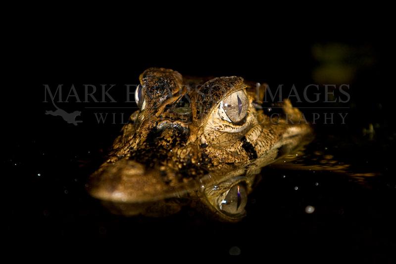 Black caiman