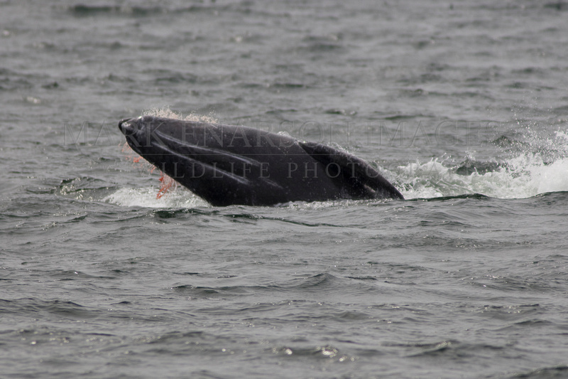 Wounded grey whale calf