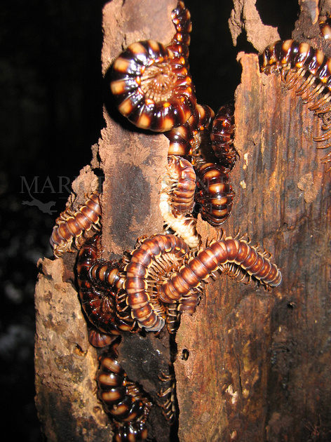 Centipedes in the flooded forest